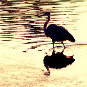 heron in the river in Seaside, Oregon